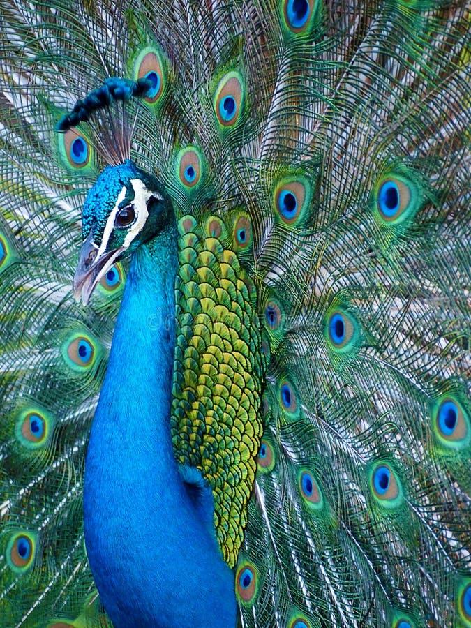 Stående av en blå indisk påfågel arkivbilder