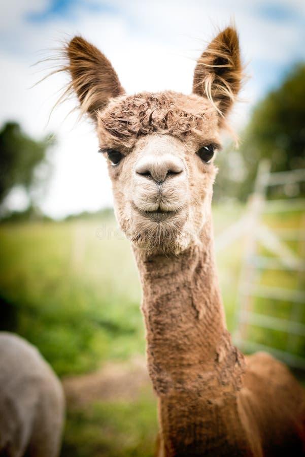 Stående av en brun alpaca royaltyfri foto