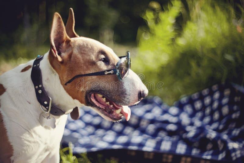 Stående av en engelska bull terrier i solglasögon utomhus royaltyfri bild