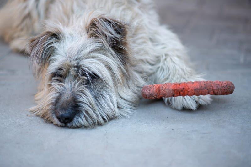 Stående av en ensam päls- briardhund som lägger på en konkret trottoar royaltyfri foto