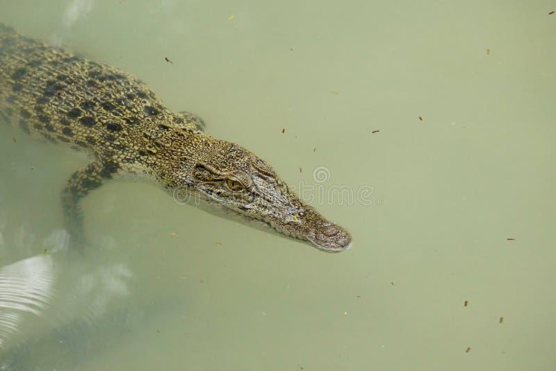 Stående av en Estuarine krokodil arkivbild