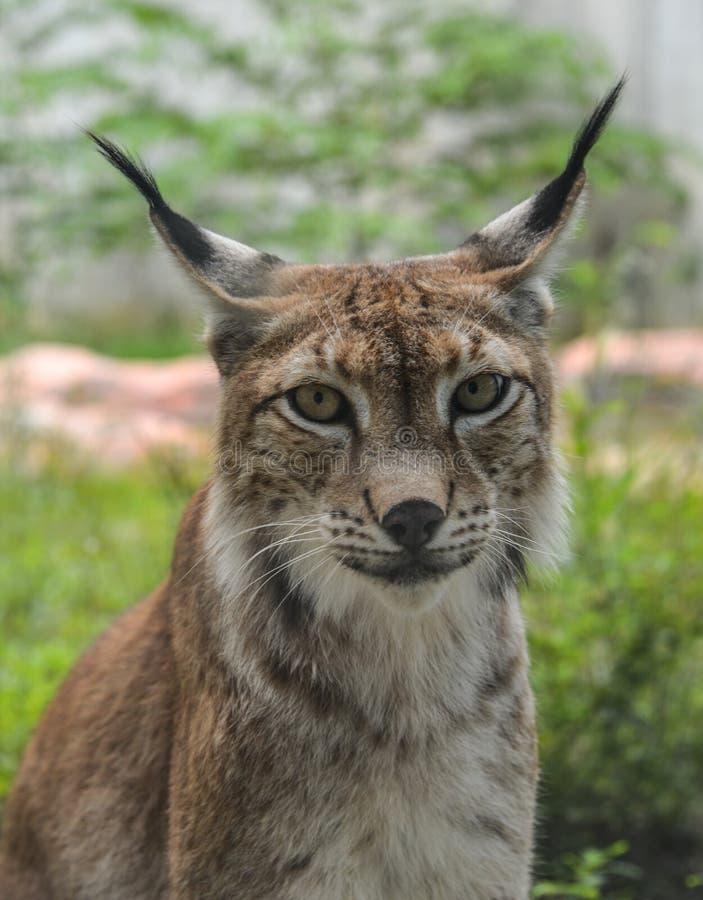 Stående av en Eurasian lodjur i zoo royaltyfri foto