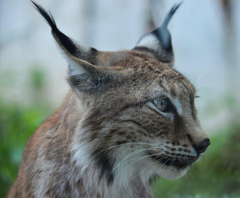 Stående av en Eurasian lodjur i zoo fotografering för bildbyråer