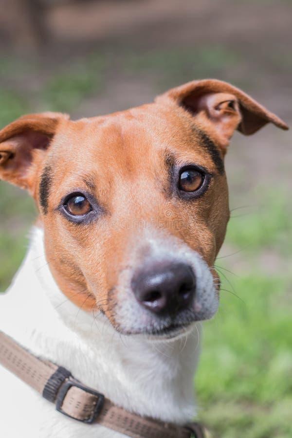 Stående av en föda upp hund Jack Russell Terrier Smart blick av hunden som ser kameran royaltyfri fotografi