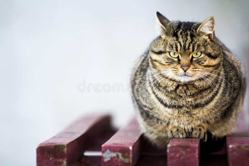 Stående av en fet randig katt med gröna ögon royaltyfri bild