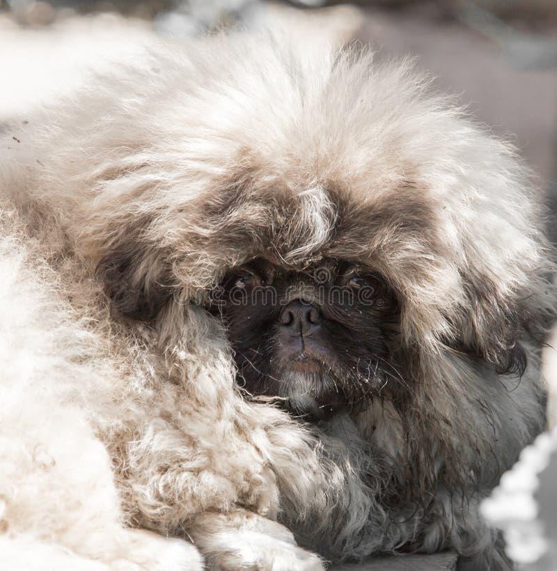 Stående av en fluffig hund arkivbild
