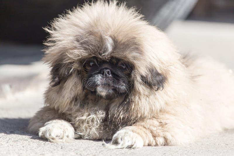 Stående av en fluffig hund royaltyfria bilder