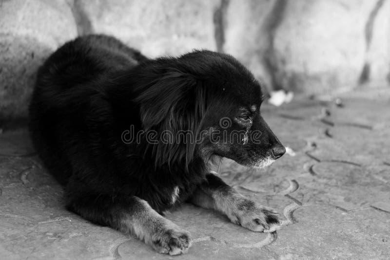 Stående av en gatahund med en öppen mun och en tunga ut Ett foto av en hund med en härlig bang Hemlösen förföljer fotografering för bildbyråer