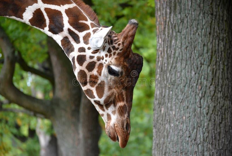 Stående av en giraff av ingreppet & x28; Giraffacamelopardalisreticulata Linnaeus& x29; med det hängda huvudet Slapp fokus arkivbild