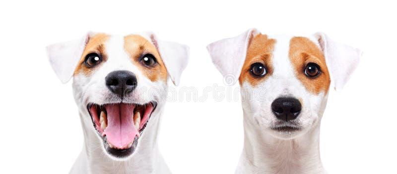 Stående av en gladlynt och ledsen hundavel Jack Russell Terrier fotografering för bildbyråer