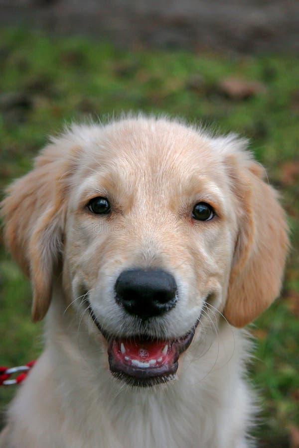Stående av en golden retrieverhundvalp Hunden är lyckligt tillfredsställt och leenden arkivfoto