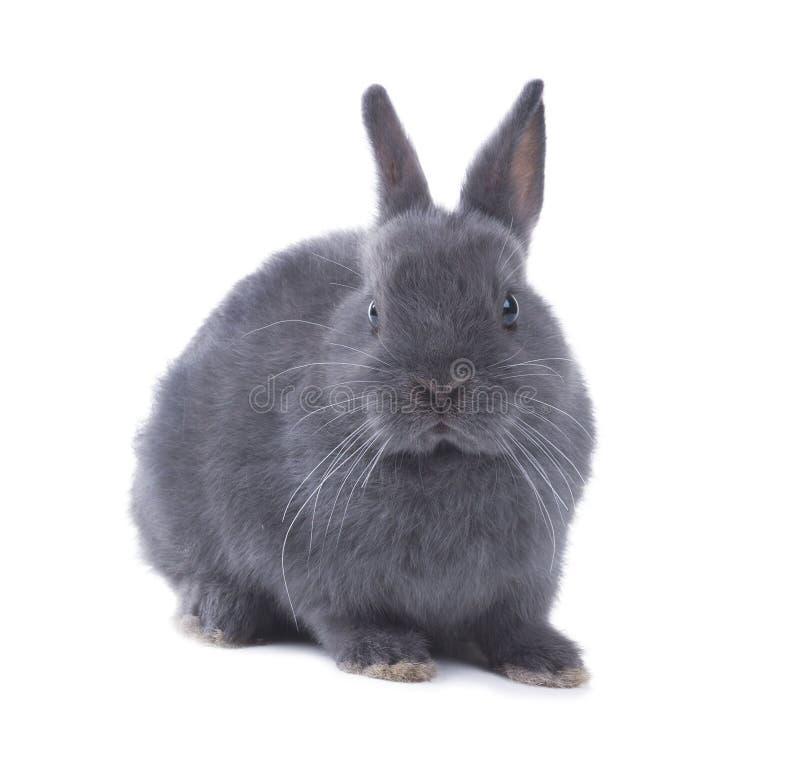 Stående av en grå fluffig dvärg- kanin Isolerat på vitbackgr arkivfoto