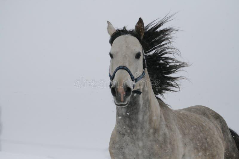 Stående av en grå häst i vinter fladdra för man arkivfoto