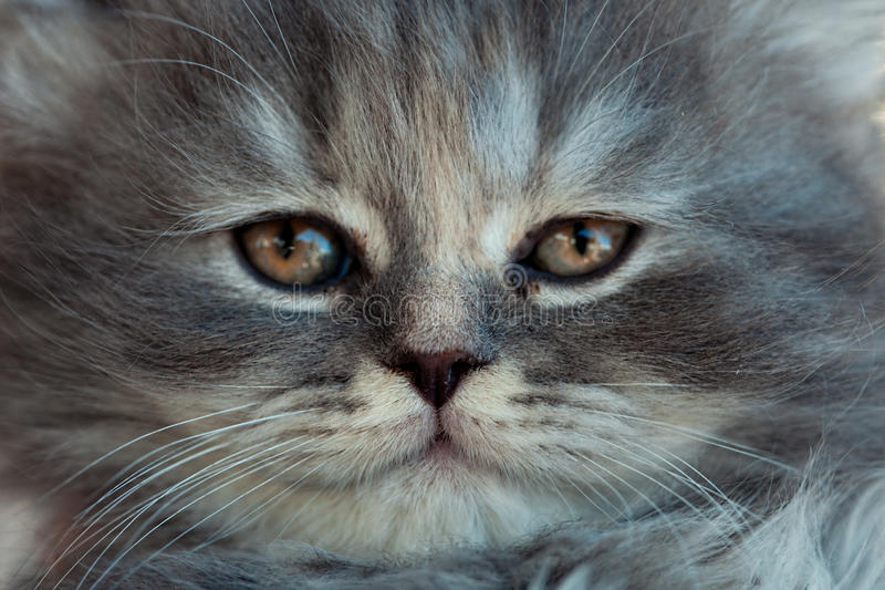 Stående av en grå kattunge arkivbild