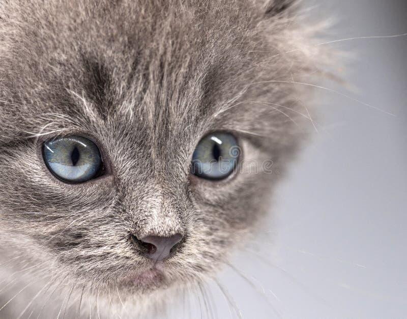Stående av en grå liten kattungenärbild fotografering för bildbyråer