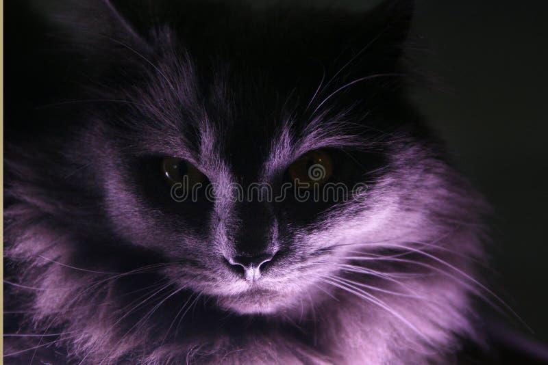 Stående av en grå longhair katt stock illustrationer