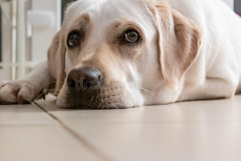 Stående av en guld- labradorblick, ögonnivå, Freya arkivfoton
