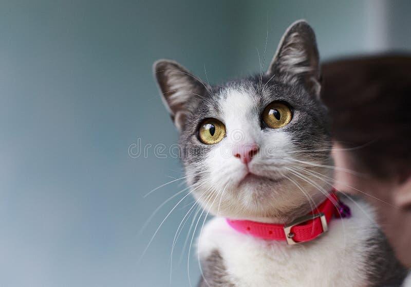 Stående av en gullig fluffig katt med gröna ögon med ett vitt bröst i en röd krage N?rbild royaltyfria foton