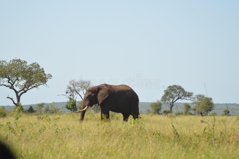 Stående av en gullig manlig tjurelefant i den Kruger nationalparken royaltyfri bild