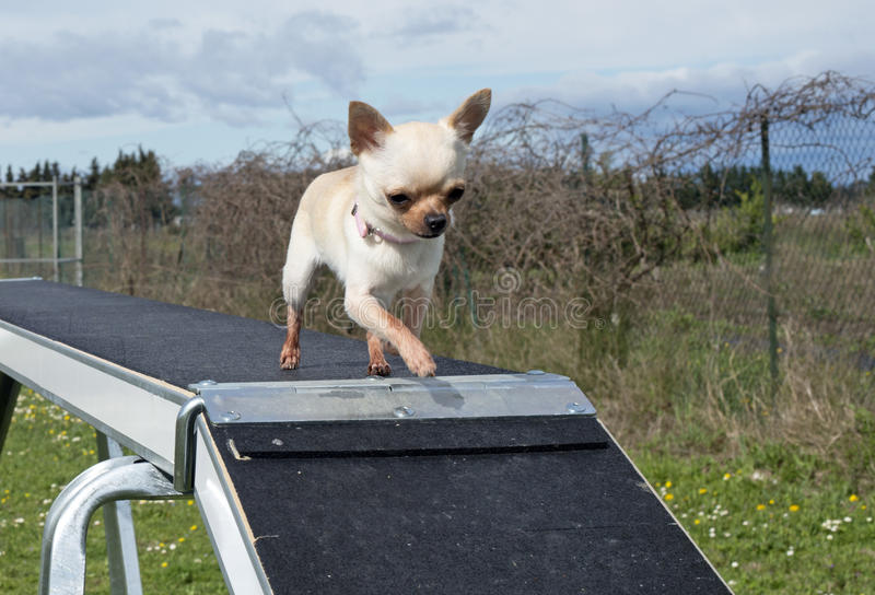 Chihuahua och agility royaltyfri fotografi