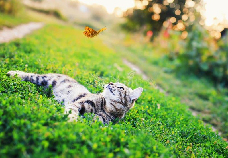 Stående av en gullig randig katt som ligger i gräset i en solig äng och ser en orange fjäril för härligt flyg på en frikä royaltyfri bild