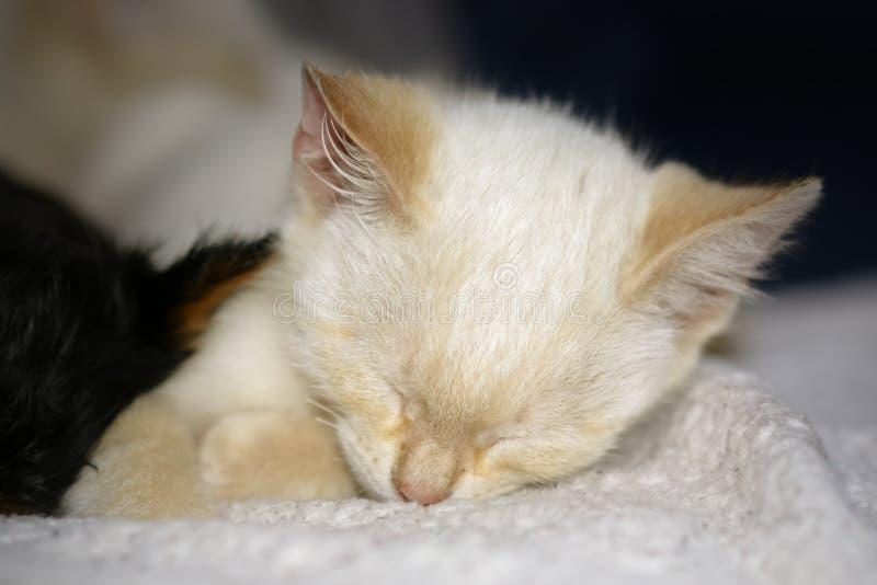Stående av en gullig sovande kattunge royaltyfri bild
