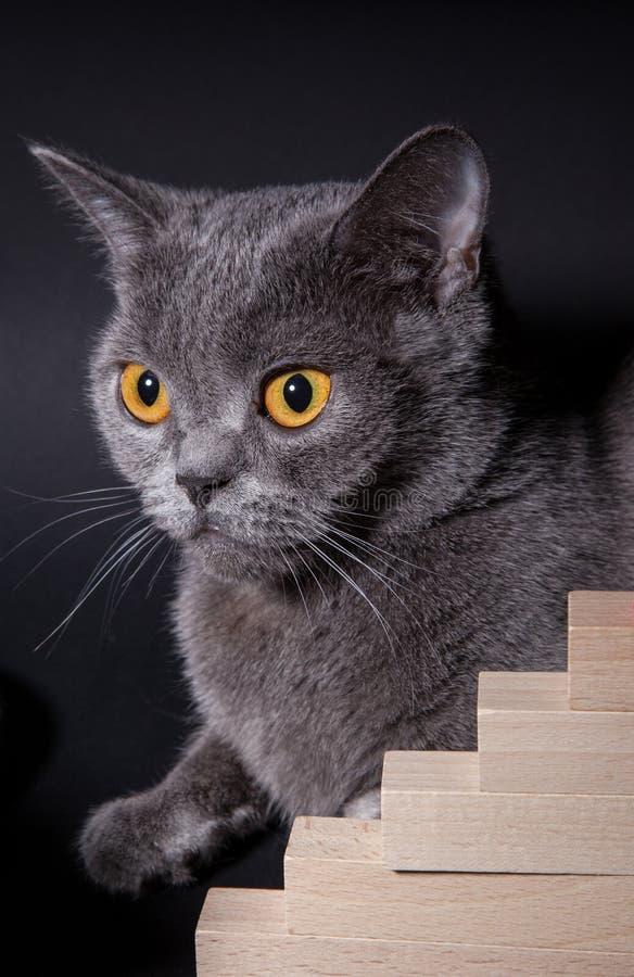 Stående av en härlig Dritish katt royaltyfri bild