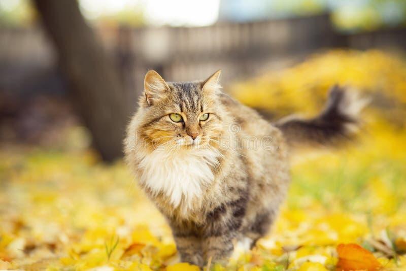 Stående av en härlig fluffig katt som ligger på den stupade gula lövverket, skämtsamt husdjur som går på naturen i hösten royaltyfria foton