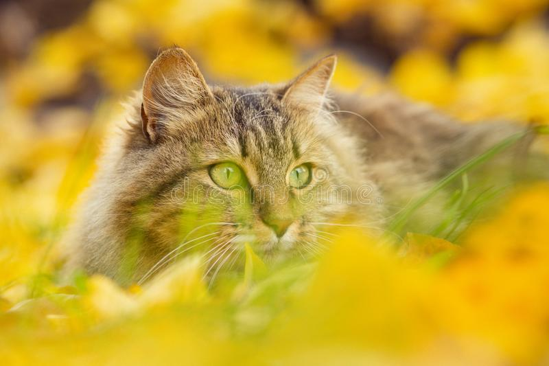 Stående av en härlig fluffig katt som ligger på den stupade gula lövverket, skämtsamt husdjur som går på naturen i hösten fotografering för bildbyråer