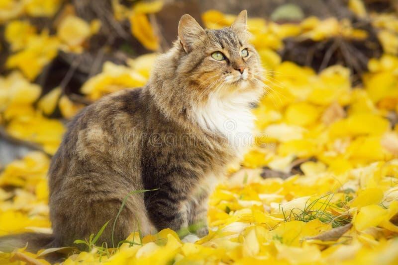 Stående av en härlig fluffig kattsittng på den stupade gula lövverket som ser upp, skämtsamt husdjur som går på naturen i hösten royaltyfria foton
