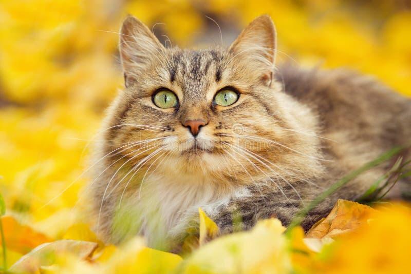 Stående av en härlig fluffig Siberian katt som ligger på den stupade gula lövverket som ser upp, skämtsamt husdjur som går på nat fotografering för bildbyråer
