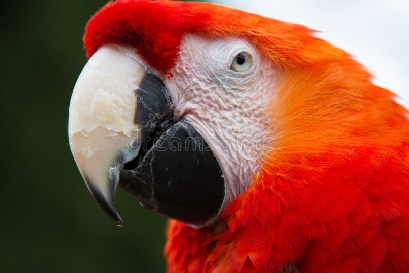 Stående av en härlig röd papegoja royaltyfri foto