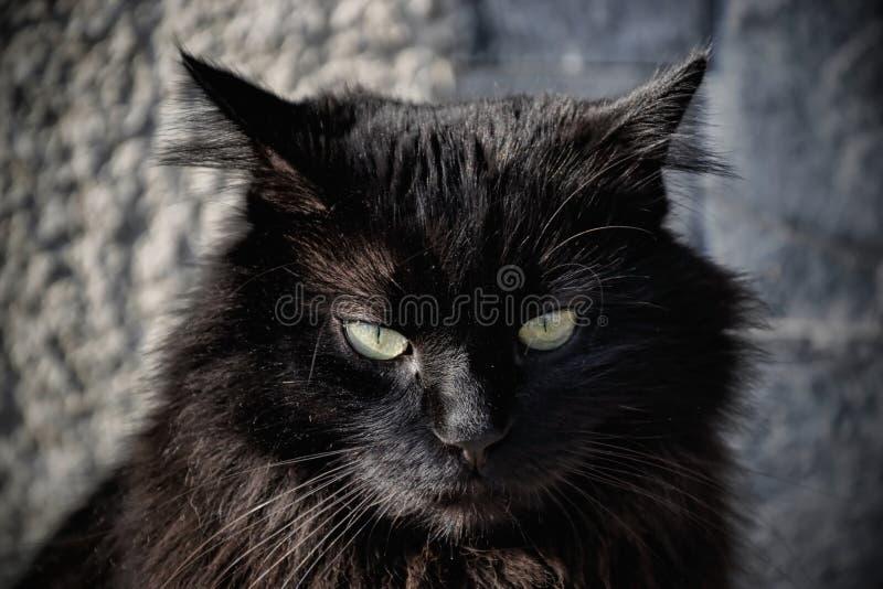 Stående av en härlig svart Chantilly Tiffany katt hemma arkivbild