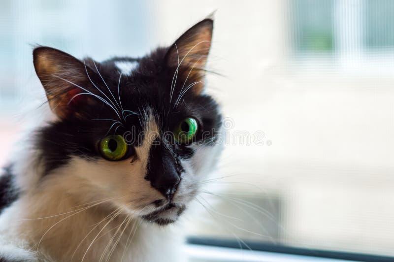 Stående av en härlig svartvit inhemsk katt med gröna ögon som är främsta av ett fönster arkivbilder