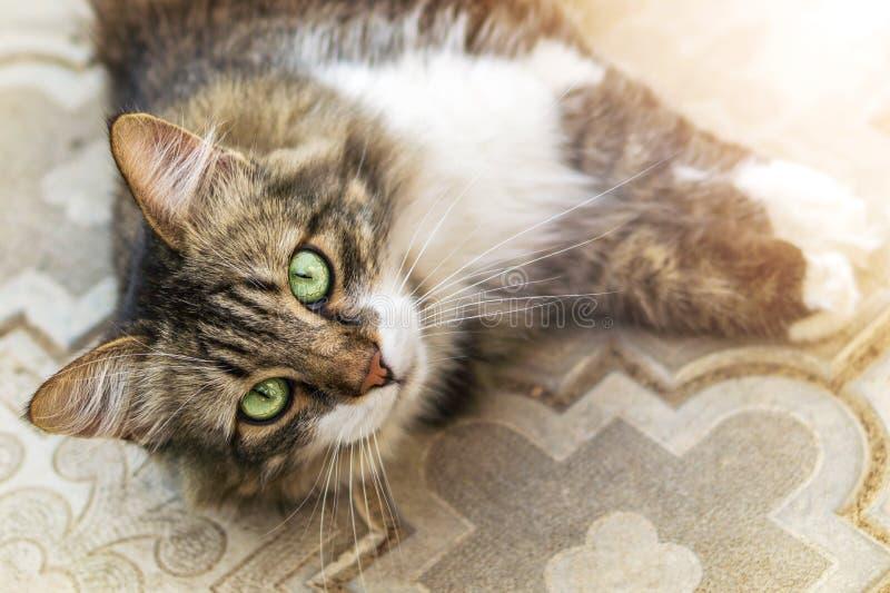 Stående av en härlig tre-färgad katt med lång ull och gröna ögon Tropiskt landskap med stranden Katten ligger på trädgård stenar  arkivbilder