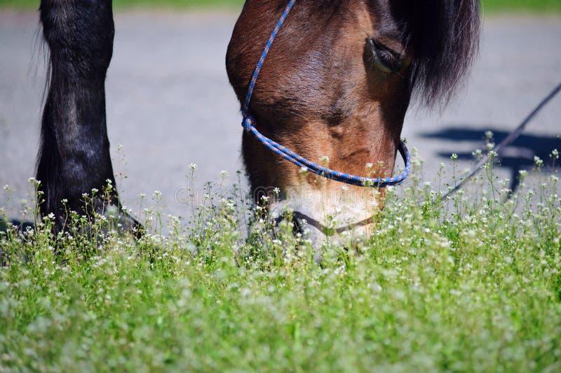 Stående av en häst som äter ett saftigt grönt gräs arkivbild