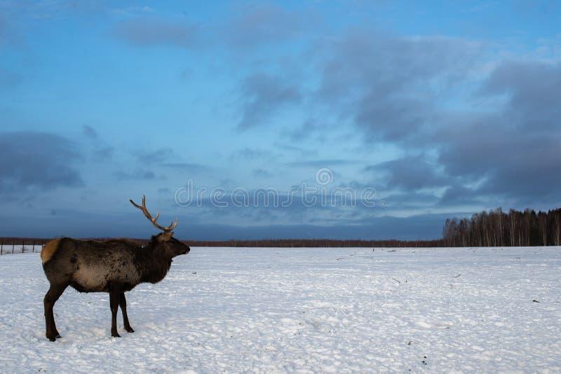 Stående av en hjort med horn i vintern på en boskaplantgård arkivbild