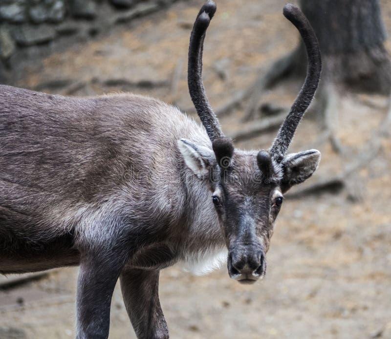 Stående av en hjort som stirrar in i ramen royaltyfri foto