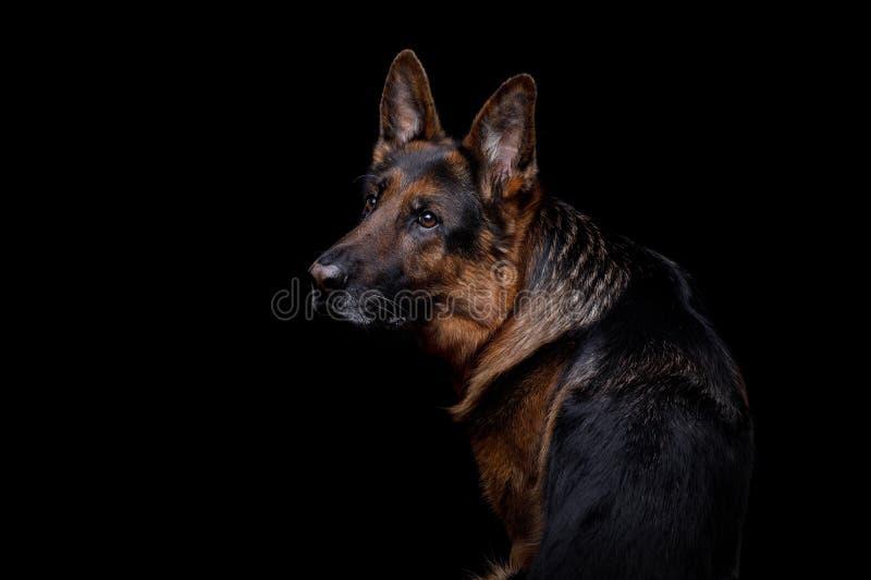 Stående av en hund för tysk herde på en svart bakgrund arkivfoto