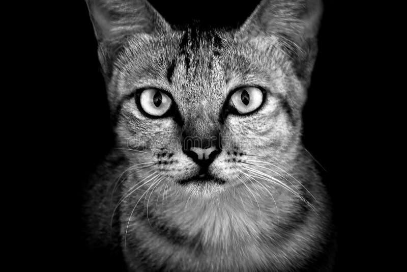 Stående av en inhemsk katt i svartvita signaler arkivbild