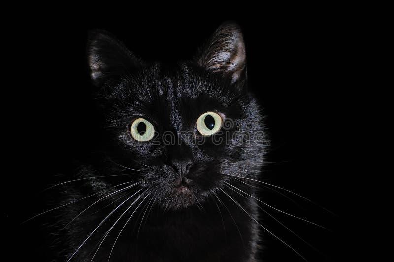 Stående av en inhemsk svart katt på en svart bakgrund royaltyfria bilder