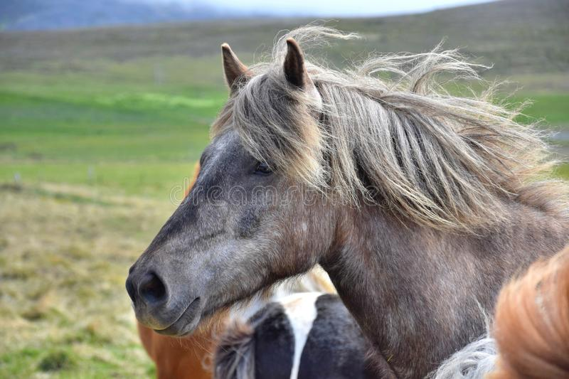 Stående av en isländsk häst Dapple grått Annat hästar och landskap i bakgrunden royaltyfria foton