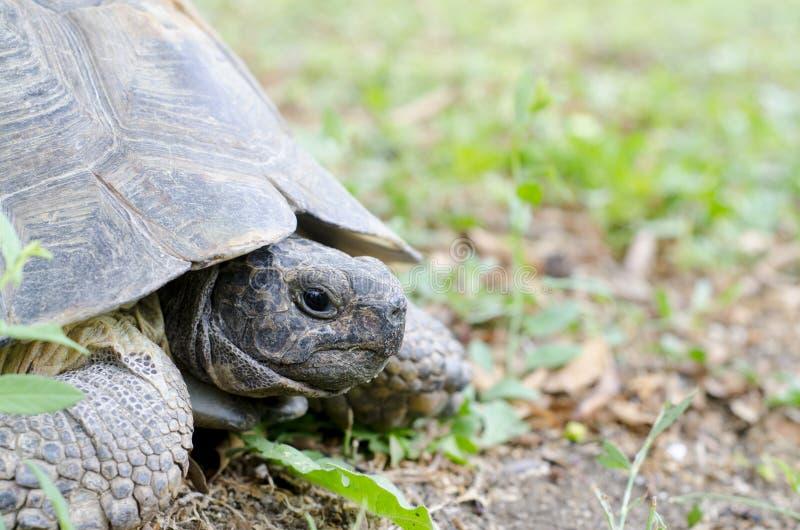 Stående av en jätte- landsköldpadda arkivfoton