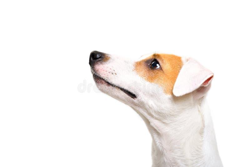 Stående av en Jack Russell Terrier hund som ser upp arkivfoton