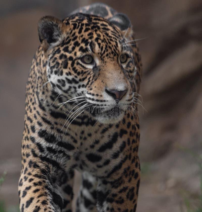 Stående av en jaguar royaltyfri foto