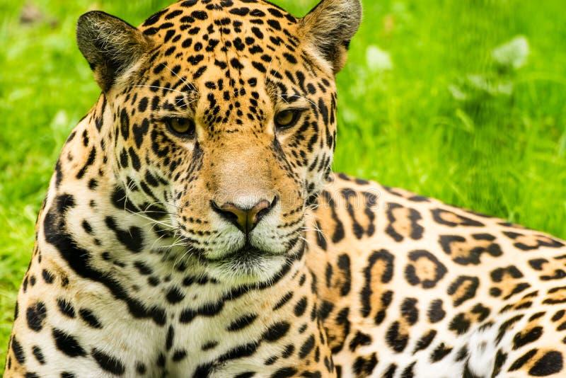 Stående av en jaguar Pantheraonca arkivbild