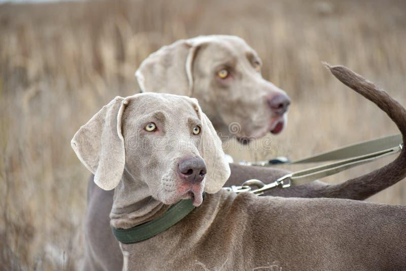 Stående av en jakthund Weimaraner Weimar pekare Hundkapplöpning i fältet, innan att jaga arkivbild