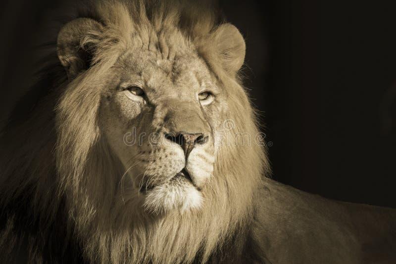 Stående av en konung Male African Lion fotografering för bildbyråer