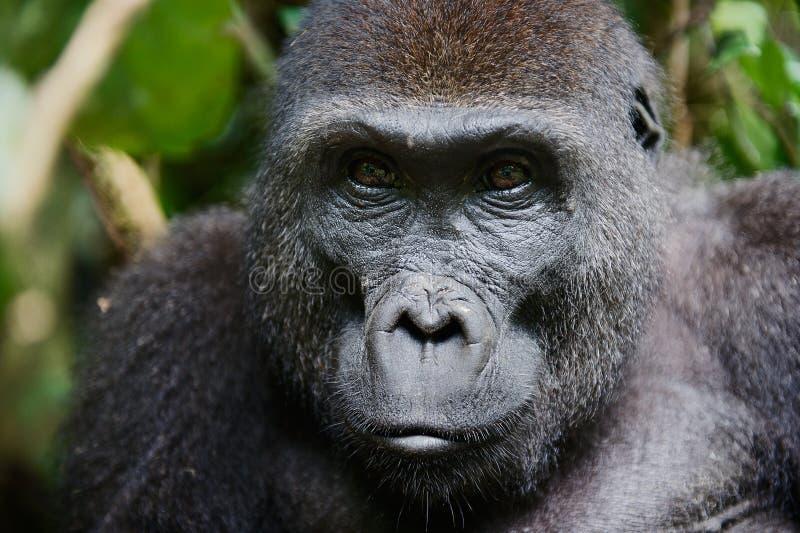 Stående av en kvinnlig av gorillan för västra lågland arkivfoto