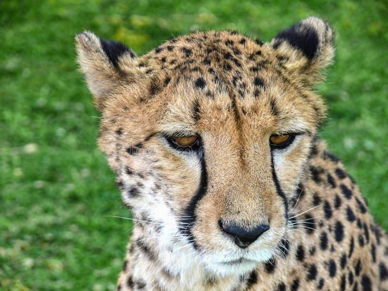 Stående av en lös gepard royaltyfria foton